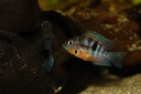 Thorichthys meeki Rio Misol Ha (Mexique)  couple F1
