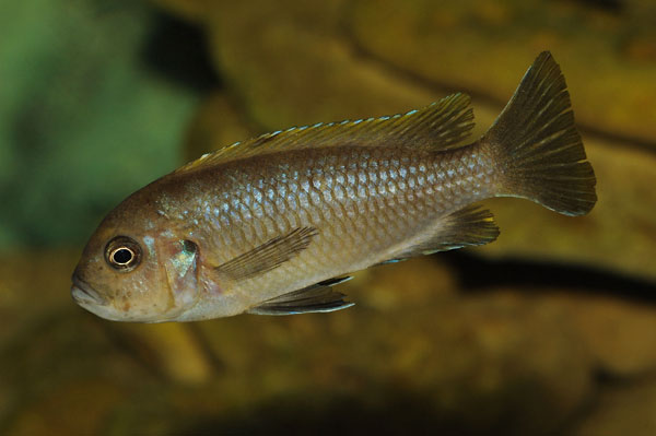 Cynotilapia aurifrons femelle sauvage