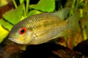 "Krobia ""Red Eyes"" Soumourou Guyane sauvage"